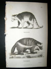 Shaw C1810 Antique Print. Racoon & Wolverene
